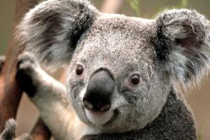 koala essai